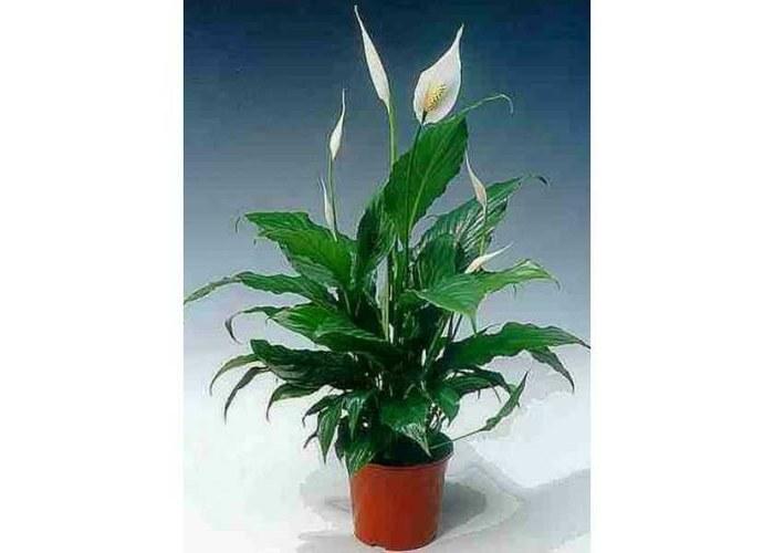 Фото комнатные растения с белыми цветами